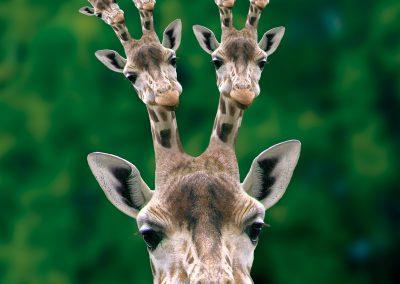 farmakonomen_mandlebrot_giraffe